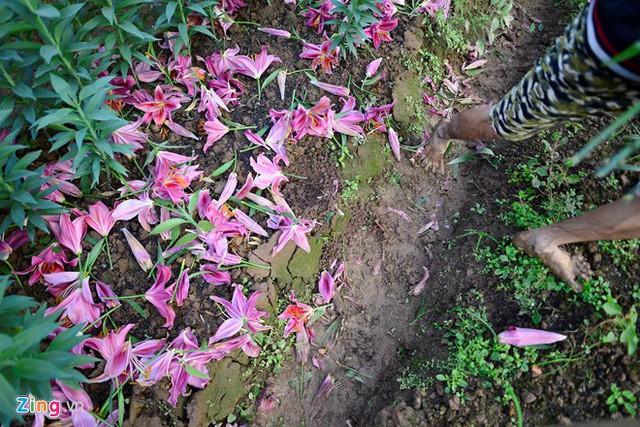 Số ruộng hoa ly nở sớm, đỏ gốc rất nhiều tại Tây Tựu. Nhiều người ngậm ngùi khi chứng kiến cảnh tượng này.