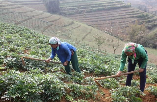 Người dân huyện Bắc Hà (Lào Cai) chăm sóc cây đương quy