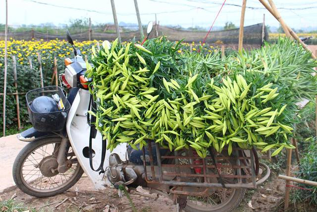 Nhiều thương lái cũng đã về tận vườn hoa loa kèn để thu mua hoa cho những người nông dân - Ảnh Lê Nguyễn Thiên Anh