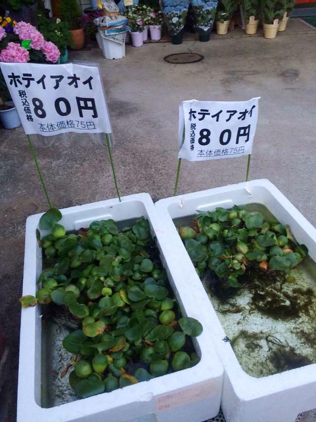 Bức ảnh thùng bèo được bán tại Nhật Bản. (Ảnh: Facebook)