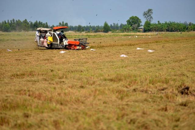 Nông dân trên cánh đồng mẫu ở huyện Hòn Đất, Kiên Giang. Ảnh: Đinh Tuấn