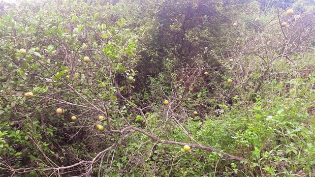 Nhiều vườn chanh bị bỏ bẵng