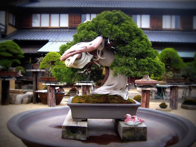 Còn đây là cây bonsai 800 năm tuổi trong vườn Shunka-en.
