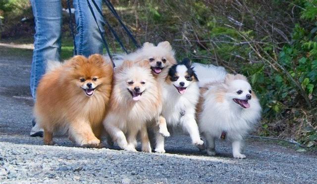 Một khu dân cư phải có đến ba bốn con chó phốc màu lông sặc sỡ này lượn qua lượn lại