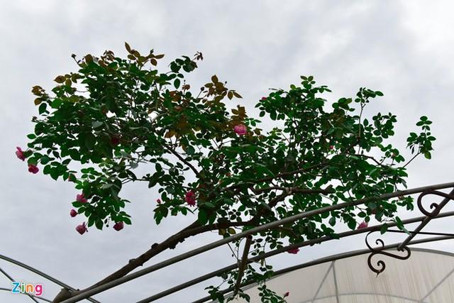 Anh Tuyên, chủ nhà vườn Tuyên Tú, cho biết cây hoa này có giá 92 triệu đồng. Người mua đã trả hết tiền nhưng chưa lấy về do biệt thự của gia chủ chưa xây xong. Bên cạnh đó, anh đã bán một cây giá 100 triệu đồng và vẫn còn một cây hồng cổ Sa Pa trăm triệu nữa cho Tết năm nay.