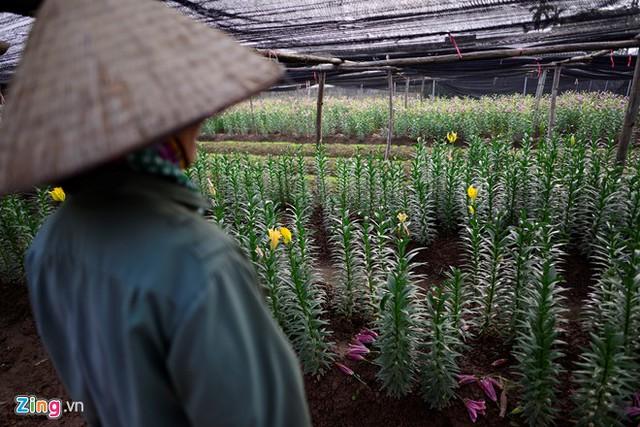 Bên cạnh hoa nở sớm lại có những gia đình thiệt hại vì gieo giống nhưng hoa không nở (bị đụt).
