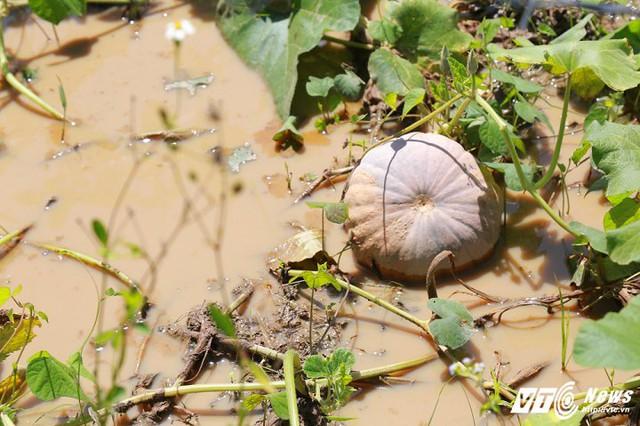 Nhiều diện tích bí không được thu hoạch, gặp thời tiết mưa nhiều khiến quả hư hỏng. (Ảnh: Thanh Hải)