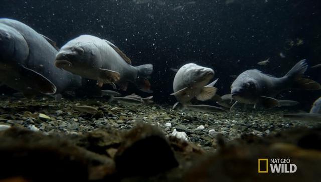 Cá sẽ làm nhiệm vụ của mình, ăn hết những chất bẩn trong nước như thức ăn thừa, giữ cho nước luôn trong, sạch (Ảnh: Nat Geo Wild)
