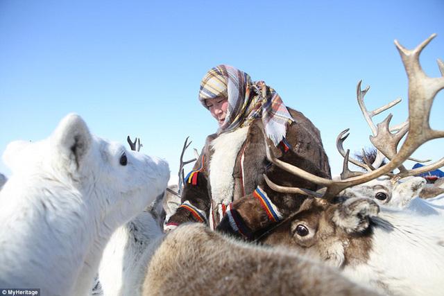 Tuần lộc được coi là tài sản, vật nuôi không thể thiếu trong cuộc sống sinh tồn của người Nenets.