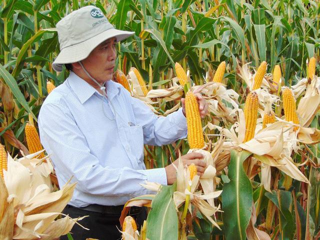 Những nông dân trồng bắp ở Đồng Tháp không chỉ được hỗ trợ 3 triệu đồng/ha mà còn giúp thích ứng với biến đổi khí hậu. Ảnh: NGỌC TRINH