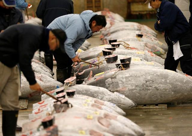 Phiên đấu giá hàm chứa nhiều ý nghĩa: hoạt động mang tính biểu tượng của nghề cá ở Nhật, đồng thời cho thấy nhu cầu của khách hàng đối với cá ngừ vây xanh làm món gỏi sashimi nổi tiếng đang không ngừng tăng lên. Ảnh: Reuters.
