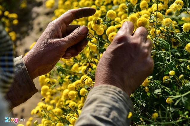 Một nhân công hái nhanh mỗi ngày được 20-30 kg hoa cúc tươi.