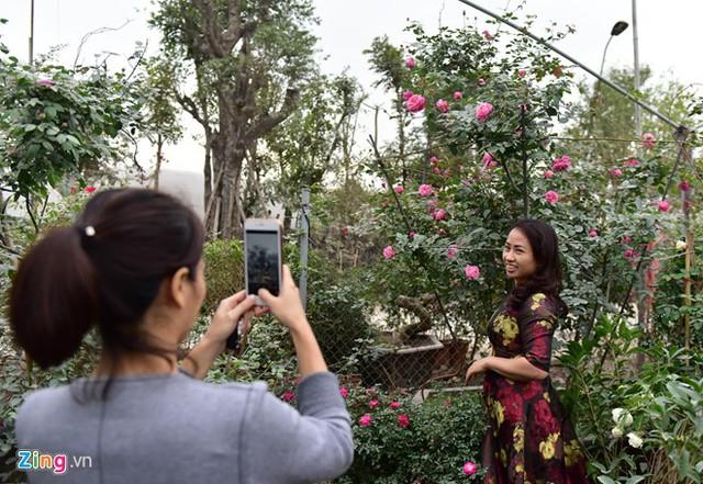 Trong những ngày gần Tết, có khá nhiều người đến xem và mua hồng cổ Sa Pa. Giống hoa này rất phù hợp để trang trí trong các biệt thự, sân vườn.