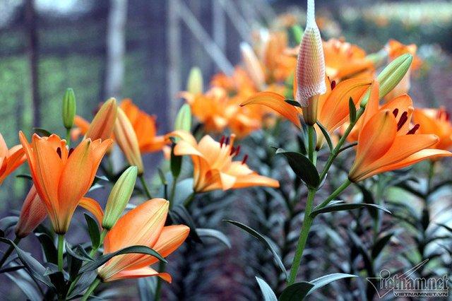 Ở nhiều nhà vườn, hơn 70% số hoa ly đã nở bung