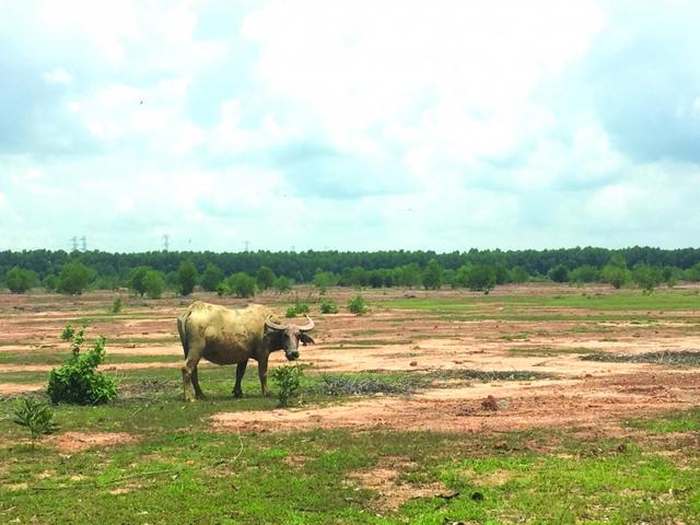 Khu đất được môi giới vẽ là trường Đại học Thủ Dầu Một là nơi chăn trâu lý tưởng.