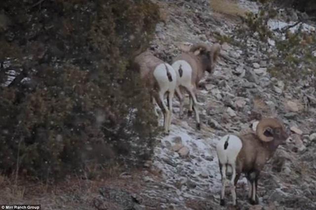 Những con cừu sừng lớn sống trên đỉnh núi cao. Ảnh: Mirr Ranch Group