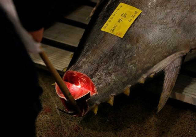 Các ngư dân đang kiểm tra chất lượng của con cá ngừ sắp được mang ra đấu giá. Ảnh: Reuters.