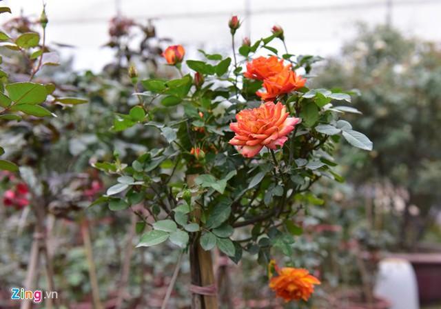 Bên cạnh hồng cổ Sa Pa năm nay còn xuất hiện nhiều loại hoa hồng nhập ngoại như hoa hồng Thái Lan, hoa hồng Anh hay hoa hồng Pháp.