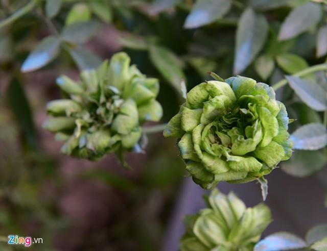 """Hoa hồng Thái Lan có ưu điểm đa dạng về kiểu dáng, màu sắc. """"Trên đời có màu gì thì hoa hồng Thái Lan có màu đó"""", anh Tuyên, chủ nhà vườn Tuyên Tú, cho biết."""