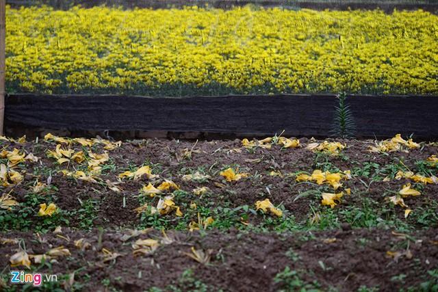 Người trồng hoa Tây Tựu cho biết hoa ly nở sớm khiến mọi dự định tiêu thụ hoa dịp Tết gặp nhiều khó khăn.