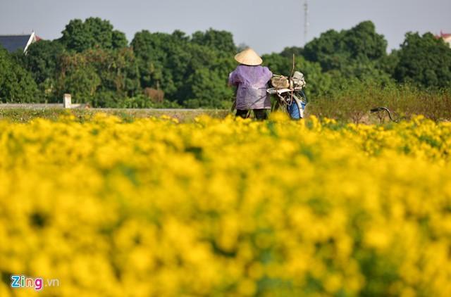 Hoa cúc chi được trồng ở đây từ hàng trăm năm bên cạnh rất nhiều loại cây thuốc khác.