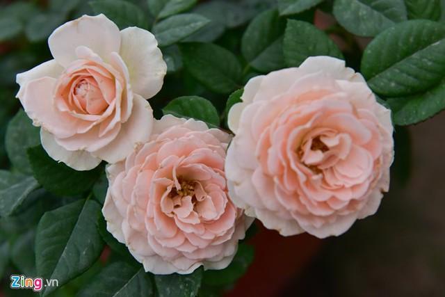 Trong các loại hoa mới thì nổi bật nhất là giống hồng Juliet. Mỗi bông có đến 90 lớp cánh tạo chiều sâu hút mắt. Đường kính bông hoa có thể lên đến 9 cm. Mỗi chùm có từ 3 đến 5 bông.