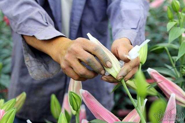 Nhiều hộ mua phải củ kém chất lượng, cây không ra hoa, hoặc hoa xấu, mất trắng cả tiền giống lẫn tiền công
