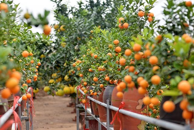 Những cây quất thế đã được đưa lên chậu, lên chum với mục đích ép đúng vụ thu hoạch