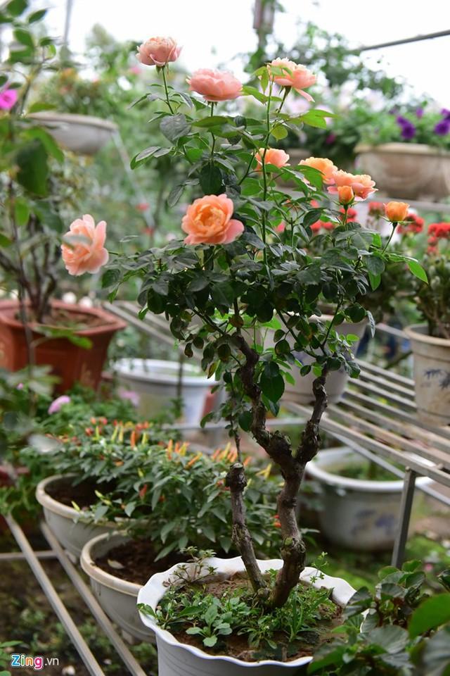 Hồng Juliet có hoa gần như quanh năm, đặc biệt khi thời tiết mát. Một chậu hoa như thế này có giá 1,5 triệu đồng đang được nhiều người mua về chơi Tết.