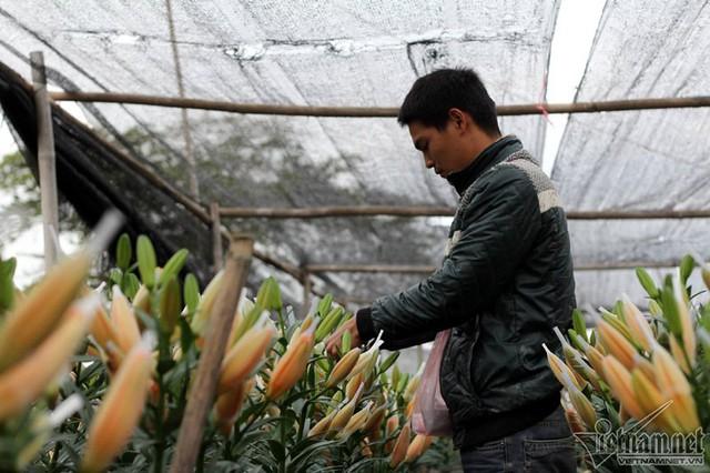 """Anh Nguyễn Tuấn Anh, một người trồng ly, cho biết: """"Giống hoa nhập giá 22.000 đồng/củ, một sào hoa cũng mất tới 60-70 triệu đồng. Tính công chăm sóc, rèm che, phân bón, mỗi củ rơi vào khoảng 25.000 đồng. Vậy mà 1 bó (10 cành) chỉ bán được 40.000 đồng thì lỗ nặng."""