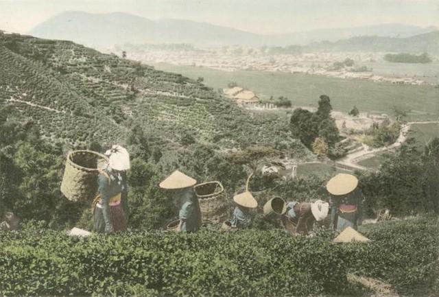Người nông dân hái trà trên một ngọn đồi ở ngoại ô Tokyo. Trà trở thành mặt hàng xuất khẩu chính của Nhật Bản vào cuối thế kỷ 19.