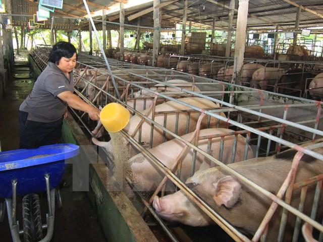 Nông dân tiếp tục chăm sóc đàn lợn chờ giá lên ở Tiền Giang.Ảnh: Vũ Sinh/TTXVN