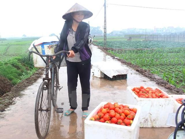 Mỗi ngày bán được một thùng khoảng 30-40 kg cà chua người dân cũng chỉ được khoảng 60.000-80.000 đồng/thùng. (Ảnh: Thanh Tâm/Vietnam+)