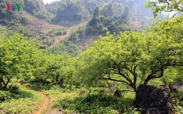 Vườn mận của gia đình Anh Trần Ngọc Dương tại tiểu khu Chiềng Đi, huyện Mộc Châu, Sơn La.