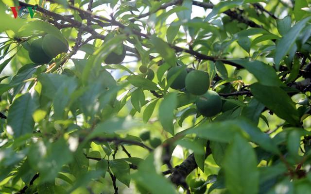 trung bình mỗi năm, gia đình anh Dương thu về hơn 100 triệu từ 1,7ha vườn mận của gia đình.