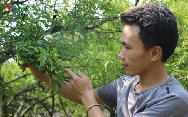 Anh Dương cho biết, việc chăm sóc cây mận phải chú ý quan sát đến thời gian sinh trưởng và phát triển của cây. Đặc biệt là việc chăm bón và phòng trừ sâu bệnh.