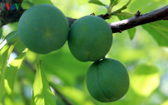 Được trồng ở vùng khí hậu và thổ nhưỡng thích hợp, mận Sơn La đã tạo nên sự khác biệt so với các loại mận ở các vùng khác về cả chất lượng và hình thức.