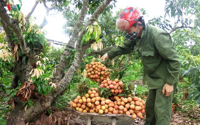 Với ưu thế nổi bật như mẫu mã đẹp, thơm, ngọt nên vải thiều sản xuất theo Quy trình thực hành sản xuất nông nghiệp tốt VietGAP, Global Gap của tỉnh Bắc Giang bán được giá gấp 2 đến 3 lần so với vải sản xuất thường(Ảnh: Minh Long)
