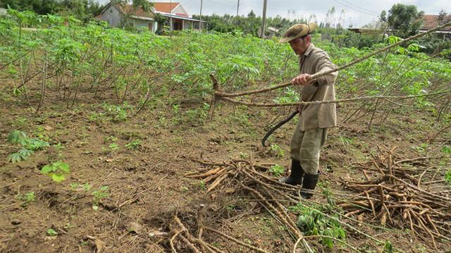 Người trồng sắn nguy cơ thiệt hại kép - Ảnh 2.