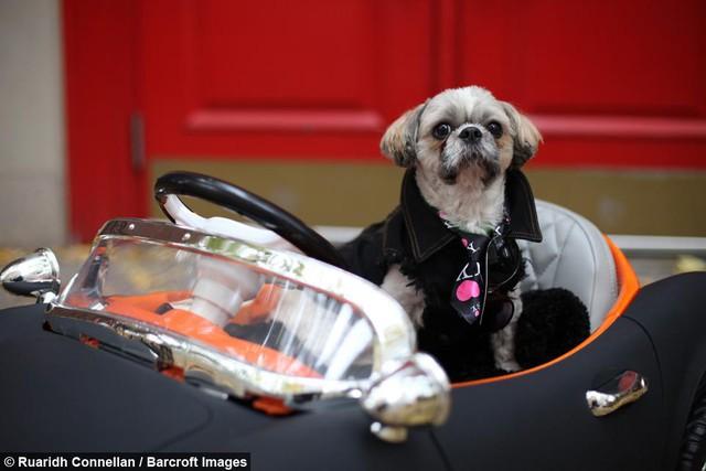 Không hề biết lái xe nhưng chú chó này sở hữu tận 4 chiếc siêu xe chính hãng, trong đó có cả Bentley và Ferrari - Ảnh 3.