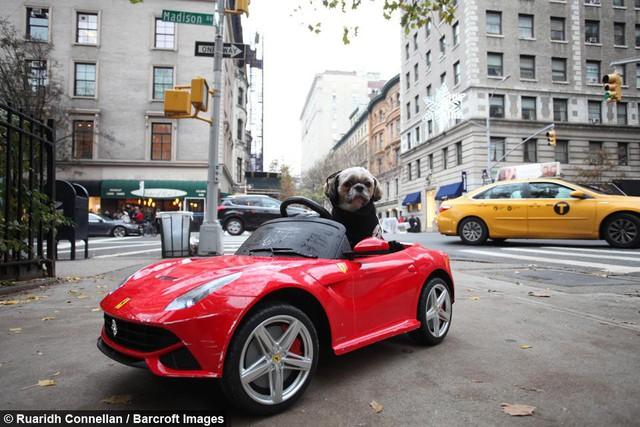 Không hề biết lái xe nhưng chú chó này sở hữu tận 4 chiếc siêu xe chính hãng, trong đó có cả Bentley và Ferrari - Ảnh 5.