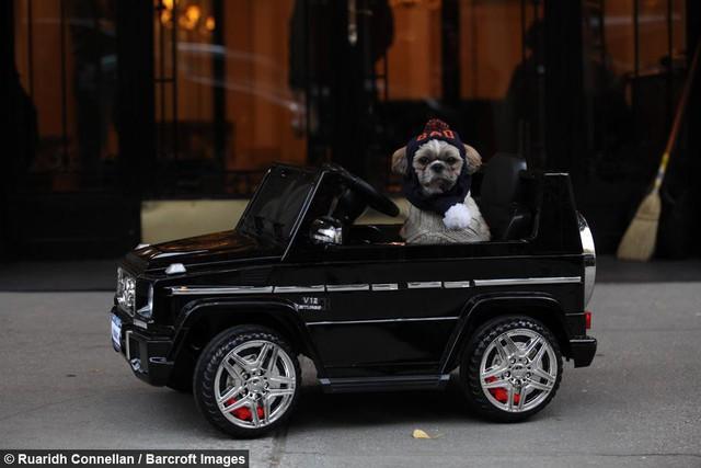 Không hề biết lái xe nhưng chú chó này sở hữu tận 4 chiếc siêu xe chính hãng, trong đó có cả Bentley và Ferrari - Ảnh 8.