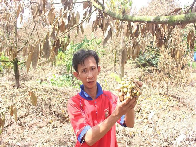 Khóc ròng vì sầu riêng đặc sản chết khô hàng loạt - Ảnh 1.