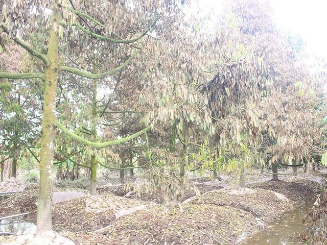 Khóc ròng vì sầu riêng đặc sản chết khô hàng loạt - Ảnh 4.