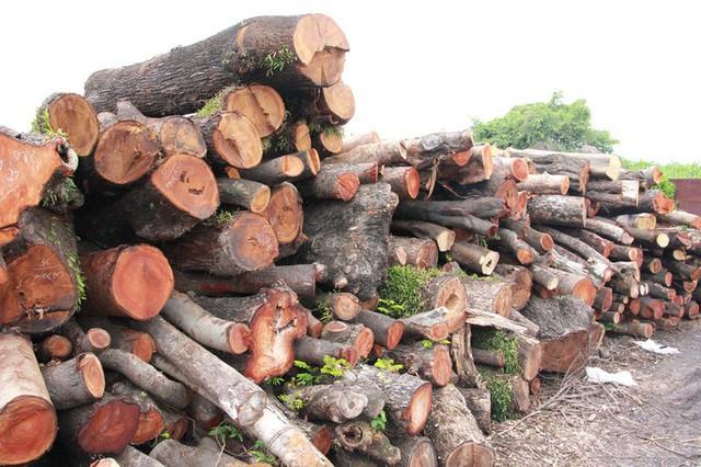 Đường đi của các loại cây xanh bị đốn hạ ở TP HCM - Ảnh 8.