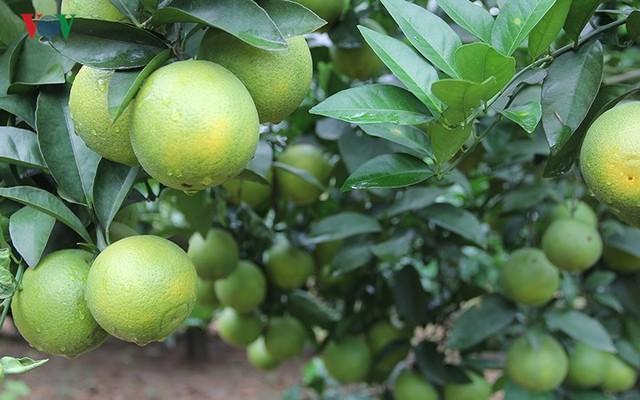 Nông dân xứ Nghệ rơi nước mắt nhìn cam rụng vàng gốc - Ảnh 4.