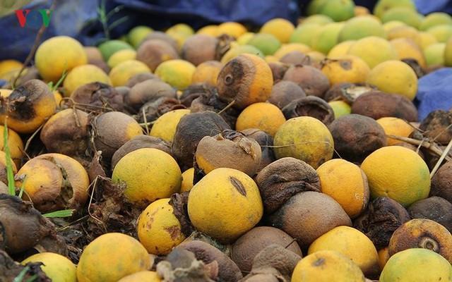Nông dân xứ Nghệ rơi nước mắt nhìn cam rụng vàng gốc - Ảnh 5.