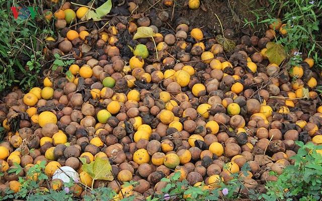 Nông dân xứ Nghệ rơi nước mắt nhìn cam rụng vàng gốc - Ảnh 6.