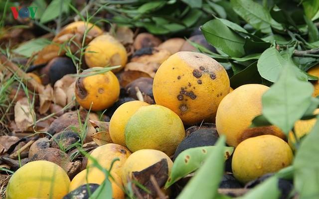 Nông dân xứ Nghệ rơi nước mắt nhìn cam rụng vàng gốc - Ảnh 8.