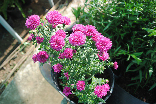 """Giống hoa thạch thảo đỏ """"cháy hàng"""" khi lần đầu tiên xuất hiện ở Sa Đéc - Ảnh 1."""